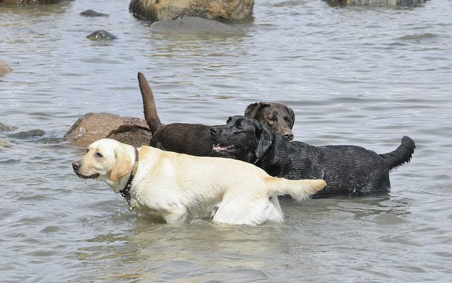 Each year theAmerican Kennel Club (AKC®) compiles a list of the most popular dog breeds in the country. For the past 26 years, the Labrador Retriever has reigned supreme as America's top dog. In fact, for the past 5 years, the …