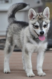 Alaskan Klee Kai. I love these dogs. Please check out my website thanks. www.photopix.co.nz