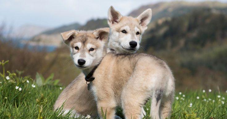 @EW: Meet the puppies who will play Rollo in season 4 of @Outlander_STARZ! http://share.ew.com/Bk2duaF