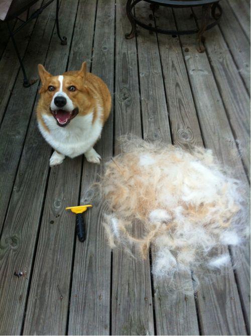 Best Dog Brush For Corgis