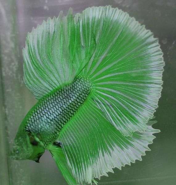 168 best Betta fish images on Pinterest   Aquarium fish ...