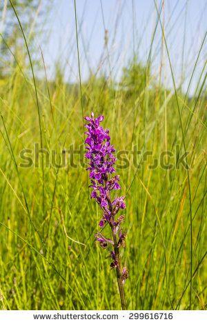 Dactylorhiza majalis (western marsh orchid, broad-leaved marsh orchid, fan orchid, common marsh orchid, Irish Marsh-orchid) in natural habitat  - stock photo