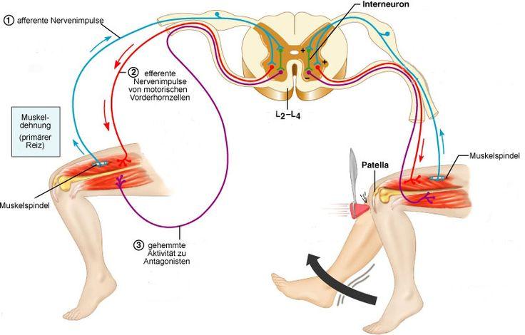 Physiologie: motorische Funktionen des Rückenmarks