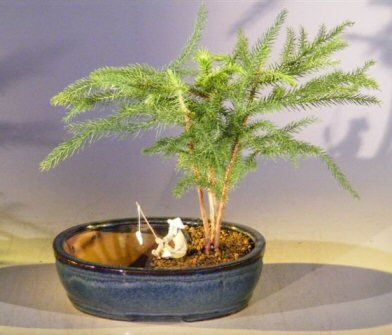 Norfolk Island Pine Bonsai Tree Water/Land Container - Medium (Araucaria Heterophila)