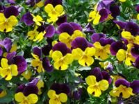 """Sorbet"" viola-award winning viola-comes in different colors-Louisiana ""Super"" plant"