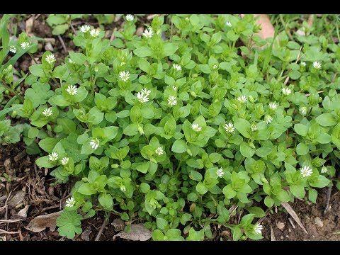 Мокрица - супер растение для здоровья, красоты и долголетия - YouTube