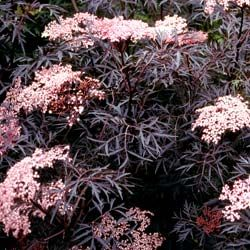 these sambucus black lace would be so pretty in a bouquet