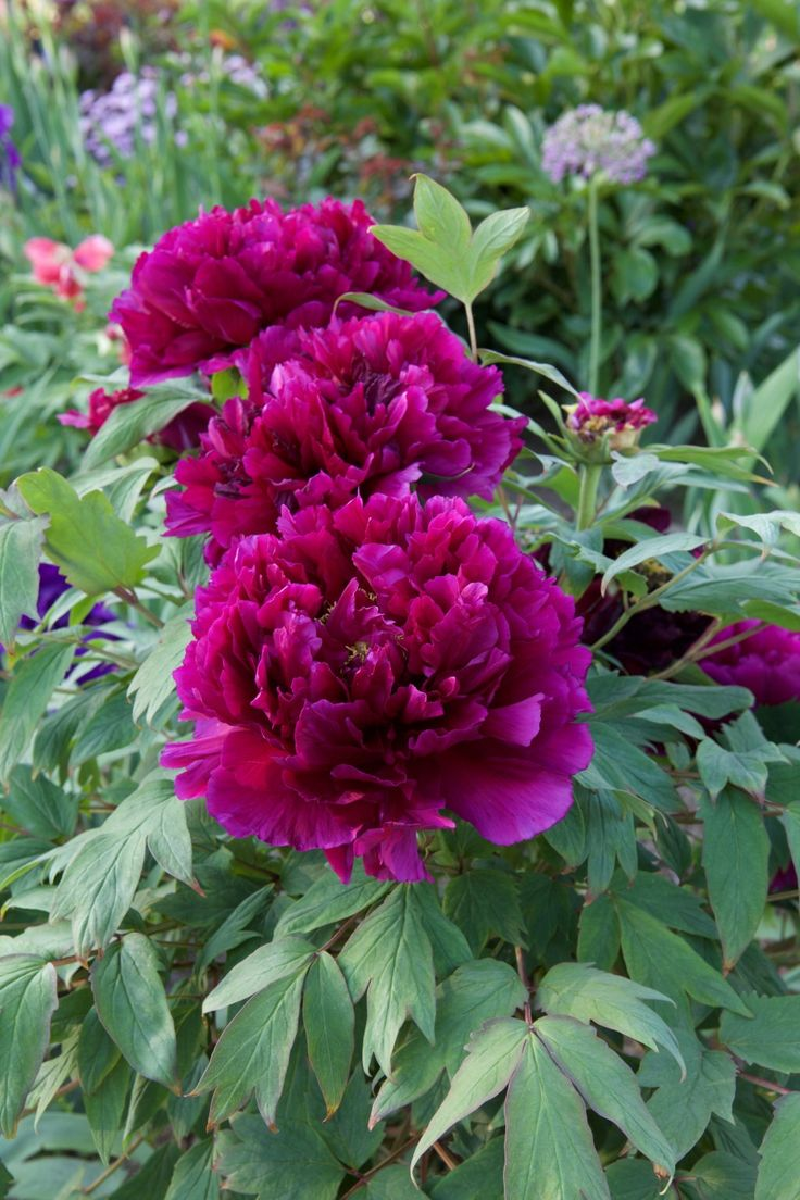 Glorious Peony Time – One of the Joys of my Garden (WHOOPS it went out…)   Carolyne Roehm