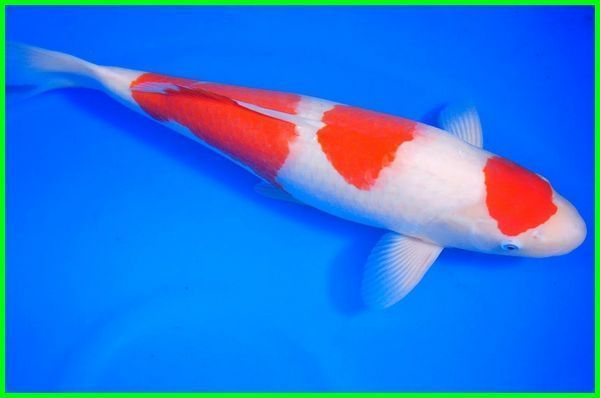 Pin On Ikan Koi