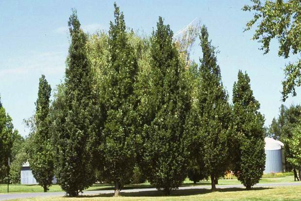 Port colonnaire. Feuillage marcescent (flétrit sur l'arbre sans toutefois s'en détacher).