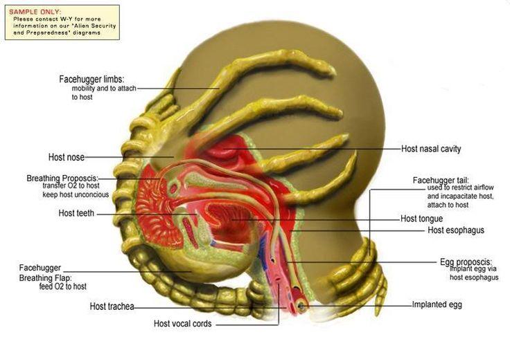 Anatomy of facehugger (Alien xenomorph) parasitism of human.