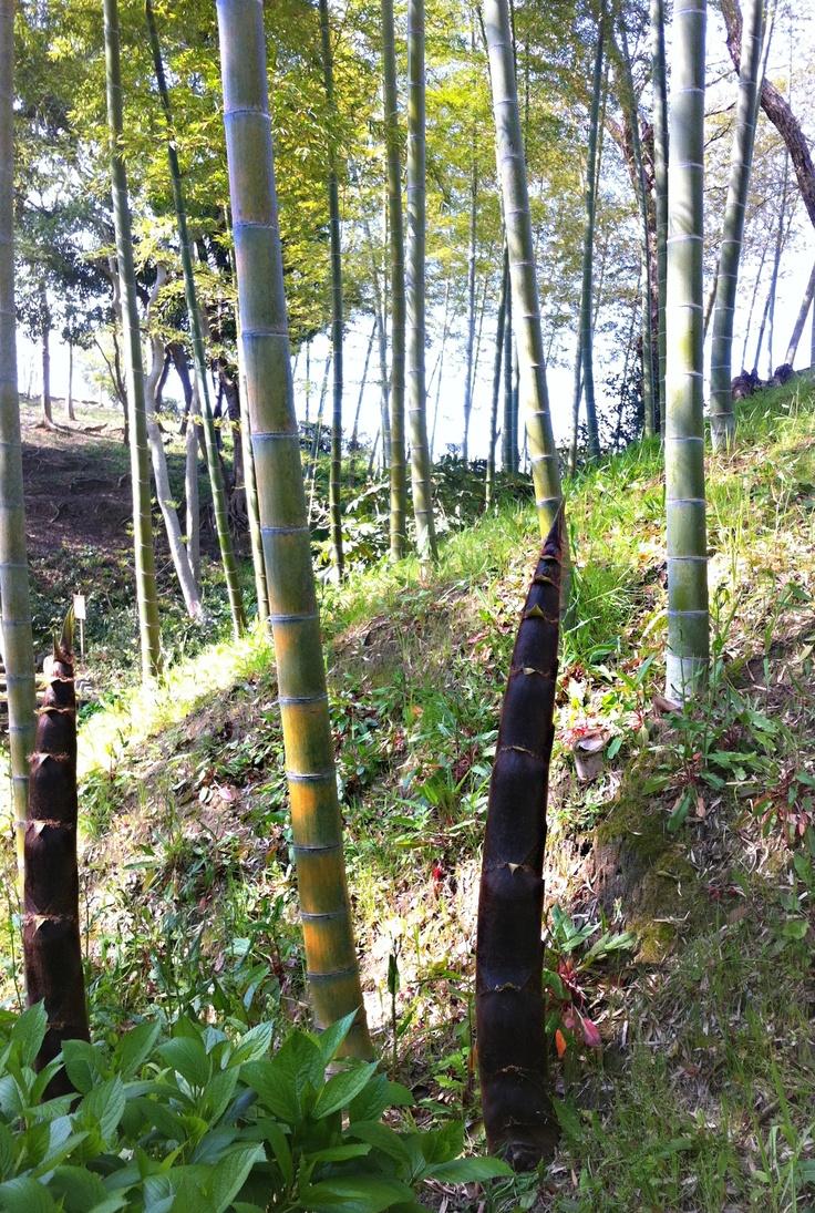 Bamboo in green park of Fukuoka