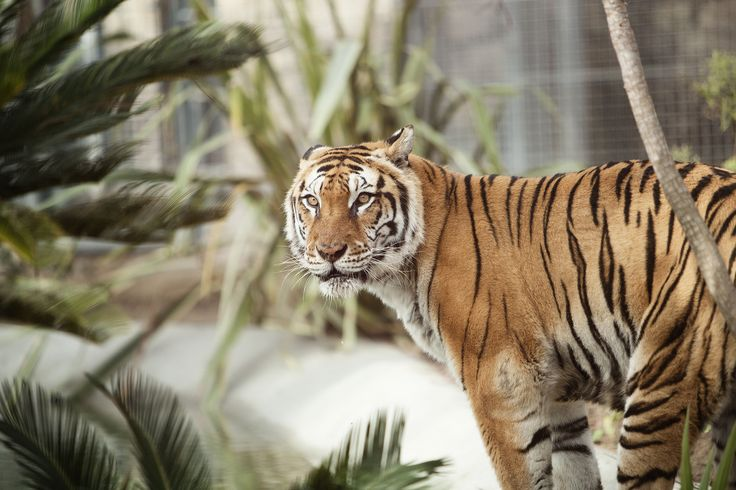 Una tigre dello Zoo di Napoli | © Machi di Pace (@machdipace) - Campaniasuweb
