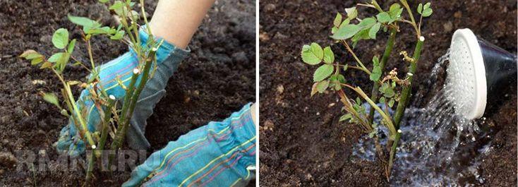 Посадка роз. Как вырастить розы в саду из черенка