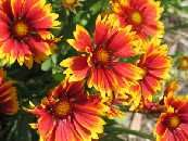 deer resistant annuals from Deer-Departed.com (HA!) (also lists of other deer resistant plants