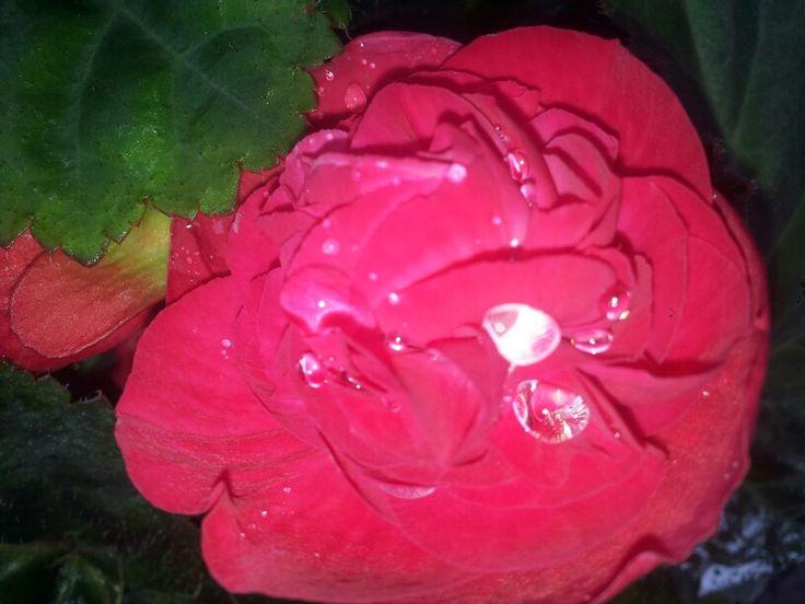 orgeys begonia