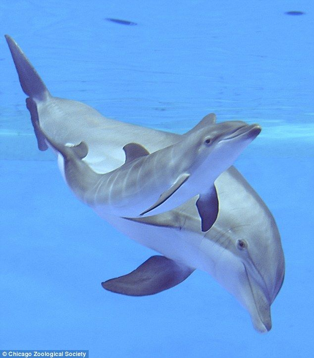 Video captures adorable moment bottlenose dolphin gives birth and helps her new calf swim to the surface for its first breath of air