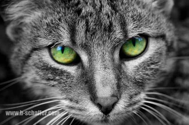 Enchanting green eyes of a sweet cat.