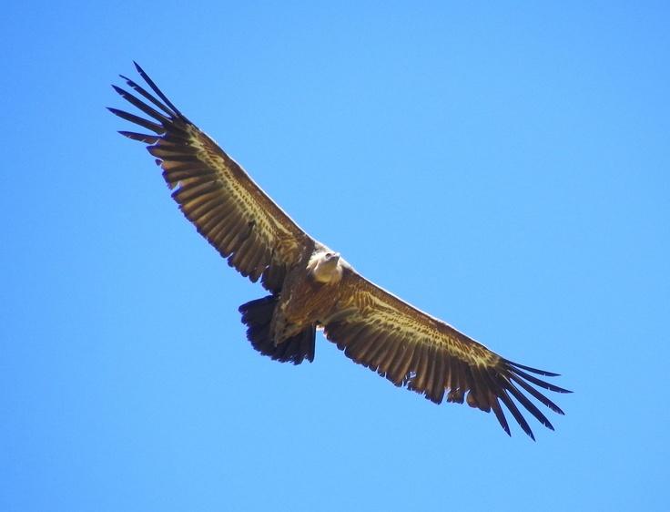 Steenarend op Kreta  #steenarend #golden #eagle #kreta #griekenland #greece