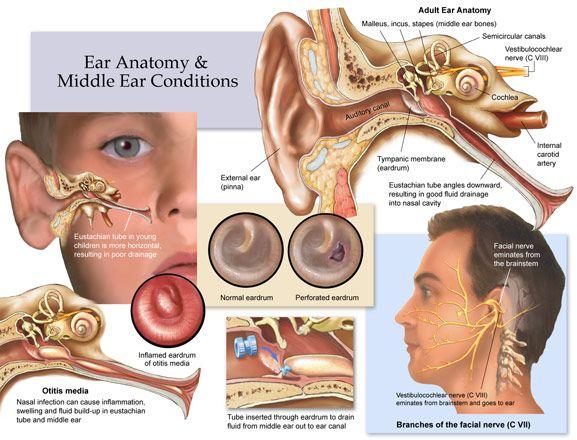 best 25+ ear anatomy ideas on pinterest   eye pencil drawing, Human Body