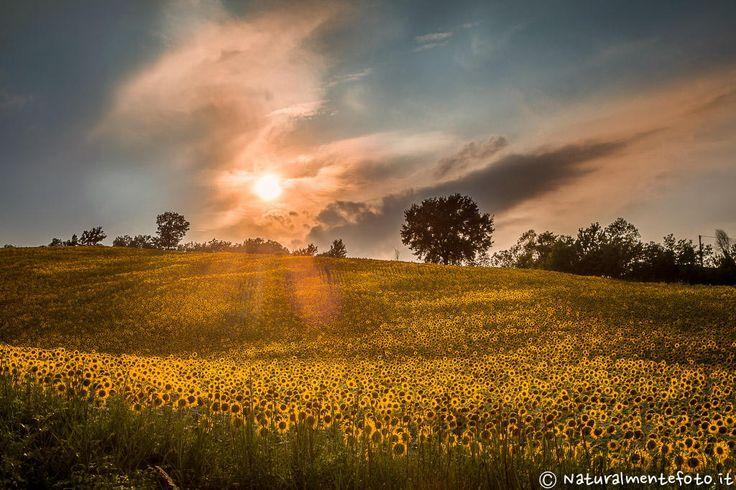 Sunflowers kissed by sunrays by Raffaele Tiraferri on 500px