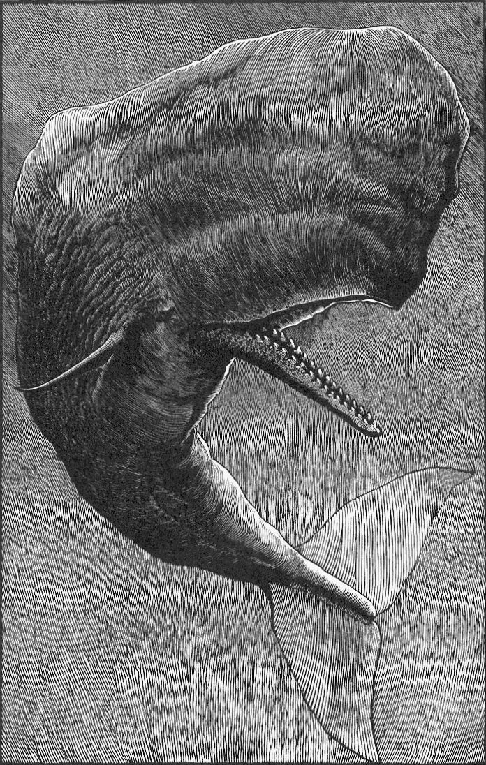 Sperm whale woodcut by Barry Moser