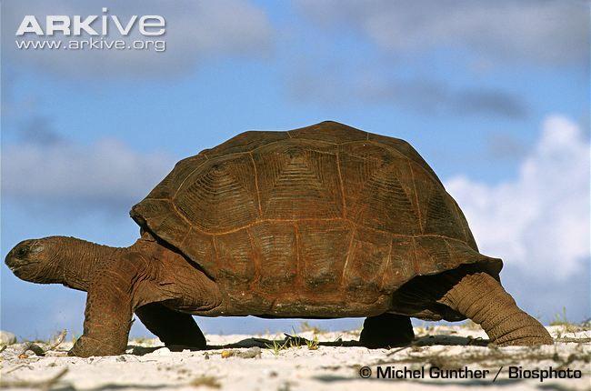 Google Image Result for http://cdn1.arkive.org/media/07/07700E11-FAF3-4D1A-8C24-8E1F1F25C284/Presentation.Large/Aldabra-giant-tortoise-walking.jpg