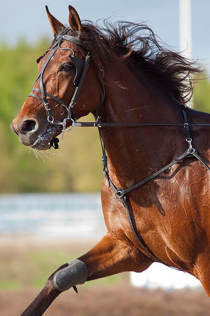Not only do I love this breed but I LOVE his name as well! Standardbred race horse Aston Martin by Rozpravka.