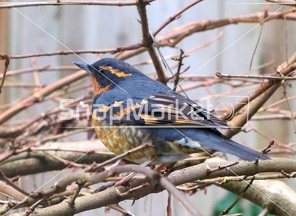 Varied Thrush sitting on bare branch