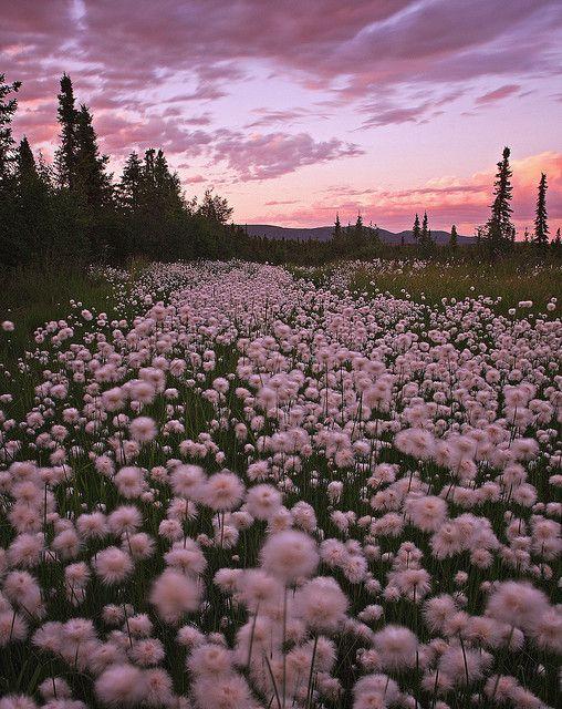 Cottongrass | Alaska