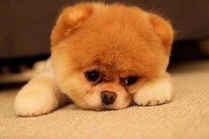 O Boo, da raça Lulu da Pomerânia, é considerado o cachorro mais fofo do mundo