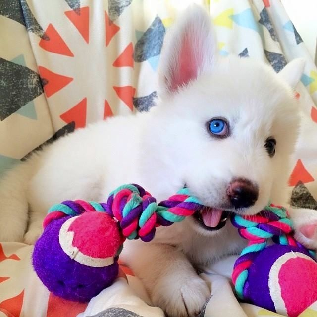 Love, love, love this adorable, white Siberian Husky puppy! ♡♡♡