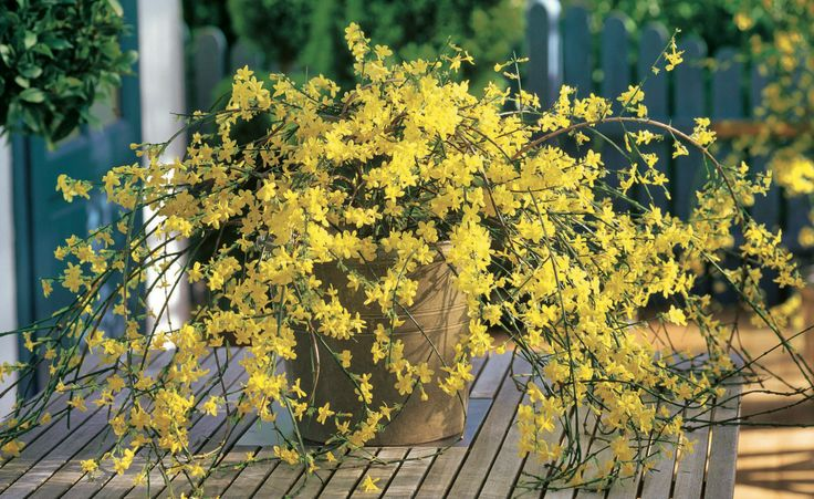 Winterjasmin (Jasminum nudiflorum)
