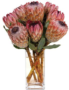 The Protea is one of the national flowers of South Africa,both the botanical name and the English common name of a genus of South African flowering plants, sometimes also called sugarbushes (Afrikaans: suikerbos).Our national cricket team is also called the Proteas