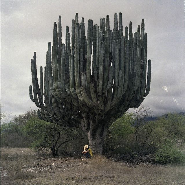 Cactus cardón, the world's tallest species of cactus.