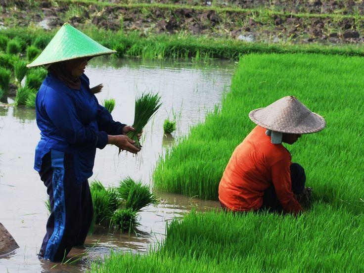 http://www.lomboktoursandtravel.com/tetebatu-ricefield-walks.html