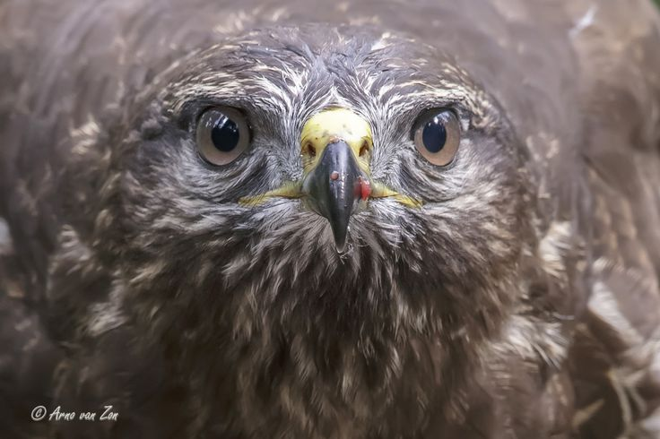 In your face... - Common buzzard (Buteo buteo): Sometimes they sit very close to the hide and giving me the opportunity for some mugshots.....;-) You have got to love nature and its creations. Cheers, my friends!