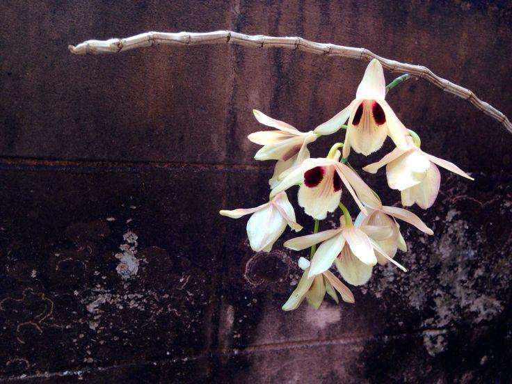 เอื้องช้างน้าว :) Dendrobium puchellum Roxb. ex Lindl.