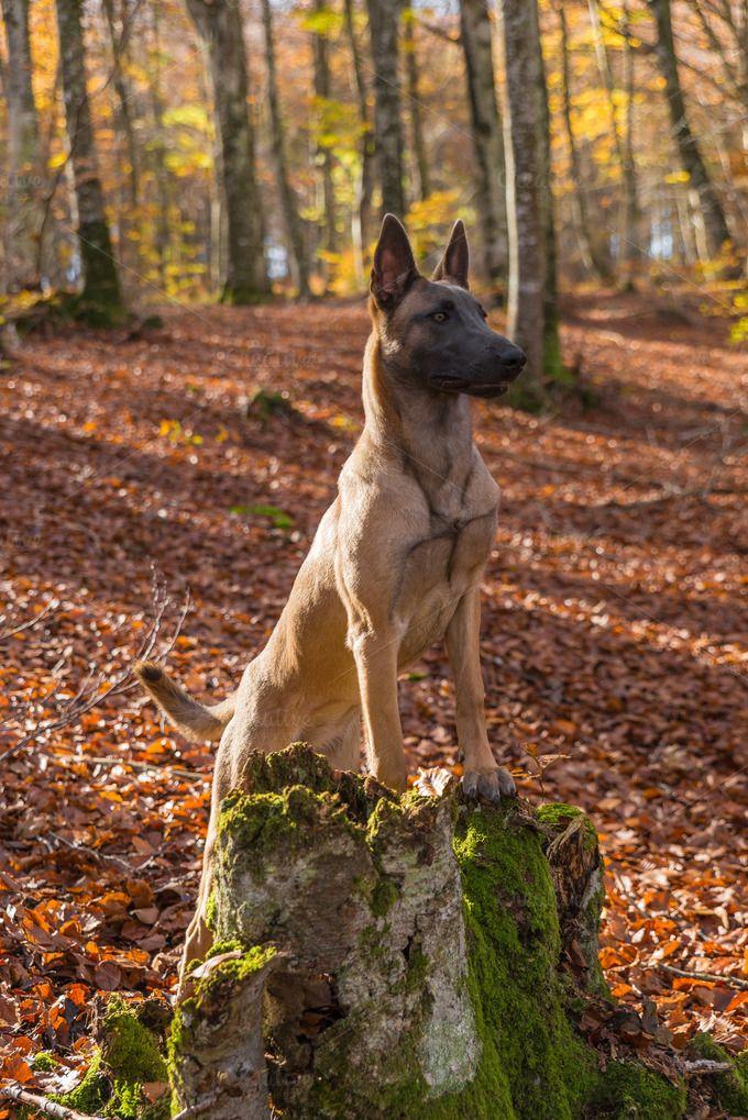 Belgian Malinois dog, autumn leaves by Irantzu Arbaizagoitia on Creative Market