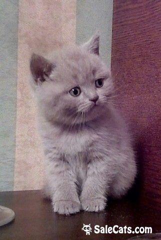 ЧЕРЕПОВЕЦ.Предлагается для резерва отличная клубная супер плюшевая британская кошечка Дата рождения23.10.16 Щекастая британочка со знаменитой улыбкой Чеширского кота на миленькой мордашке.У малышки отличная генетика, породный тип - широко поставленные маленькие ушки; огромные, круглые выразительные глаза. Нежный светлый лиловый окрас с двойным подшерстком. Малышке передается яркий цвет глаз.Очень спокойная кошечка с ласковым характером. Предки импортированы из Германии Родители…