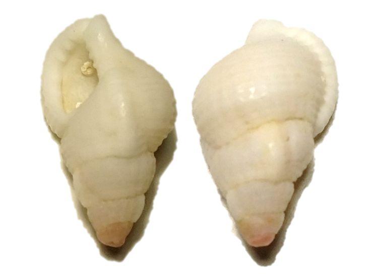 Cymatiella eburnea, Phillip Island, VIC, Beach Shell (0.7g)