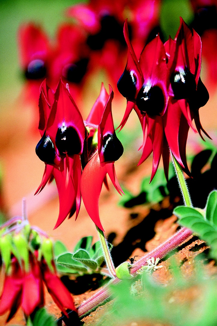 Swainsona Formosa (Sturt Desert Pea) bears very unusual, blood-red flowers with distinctive bulbous black centre. It is native of arid regions of central and north-western Australia and belongs to the Fabaceae family. It flowers from spring to summer as a short-lived annual but in favorable conditions it can bloom in the next season as well. The Sturt Desert Peas is the State floral emblem of South Australia