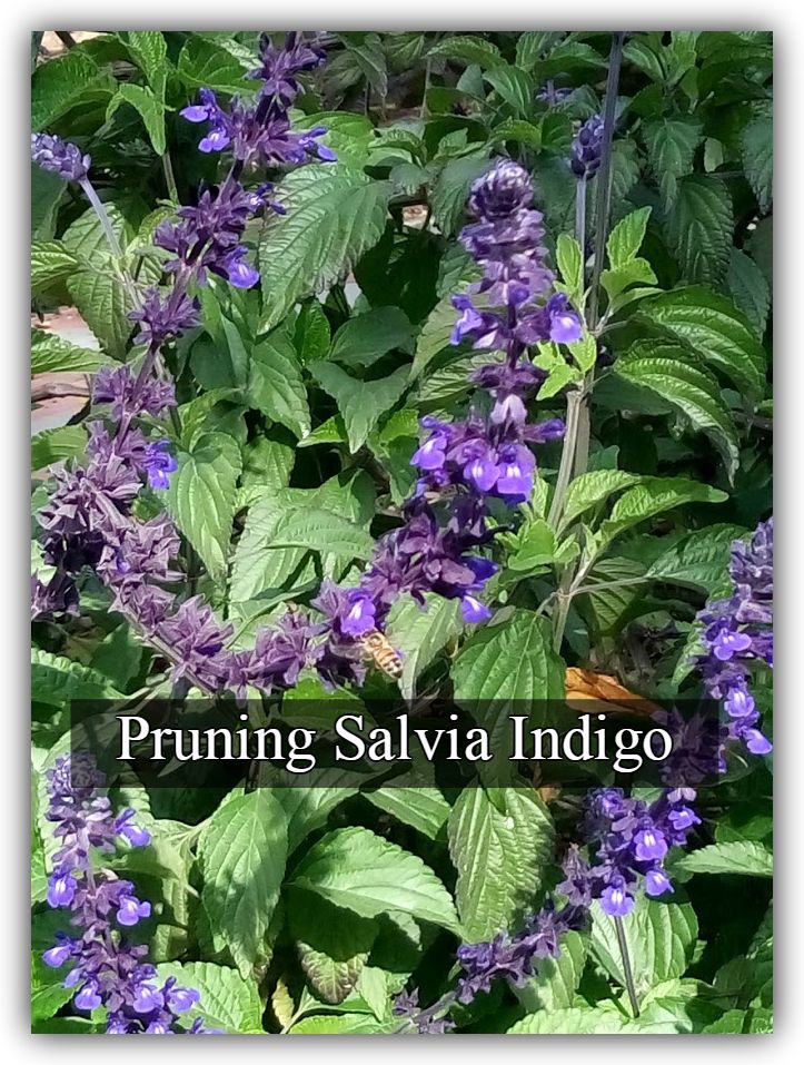 """Pruning salvia indigo or perhaps I should call this post 'How to prune a """"broken""""  Salvia Indigo'?  I love this plant, and it breaks my heart to see it broken. I mean who can resist this outstanding plant? It's the perfect combination of large green leaves and stunning deep blue bloom. The salvia indigo spreads itself all over the place, sending its long woody """"arms"""" out to the world and responds tremendously to a good decent pruning, which is after all why we are all here - so let's prune!"""