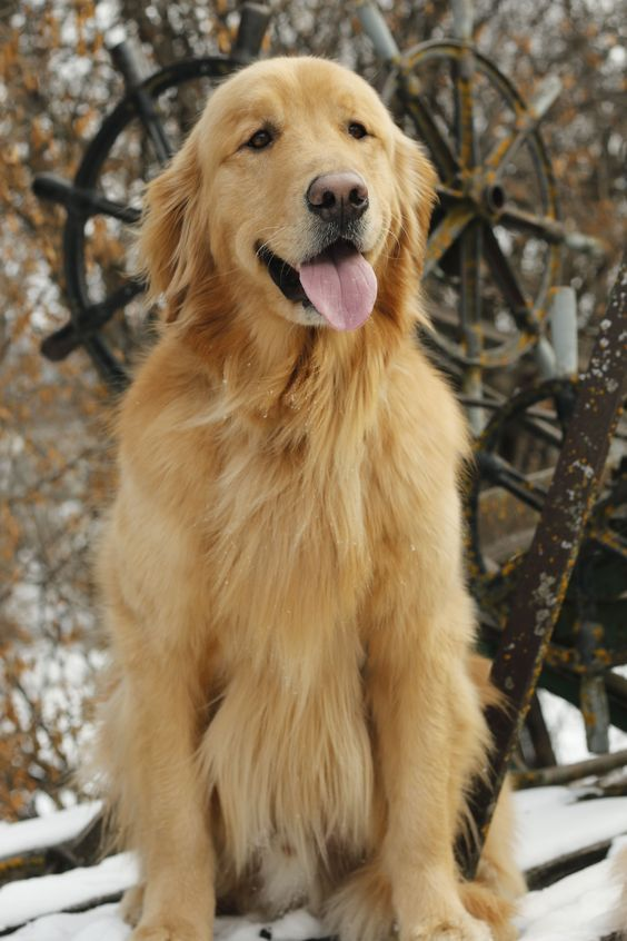 10 Glorious Everything You Ever Wanted To Know About Golden Retrievers Ideas Golden Retriever Dogs Golden Retriever Retriever