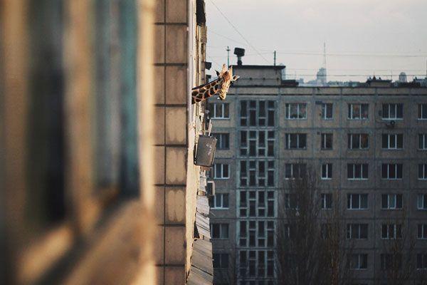 Giraffe neighbour