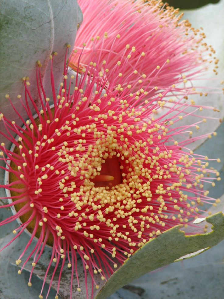 Mottlecah (Eucalyptus macrocarpa) A mallee eucalyptus that is native to the south-west of Western Australia and noted for its large spectacular flowers.
