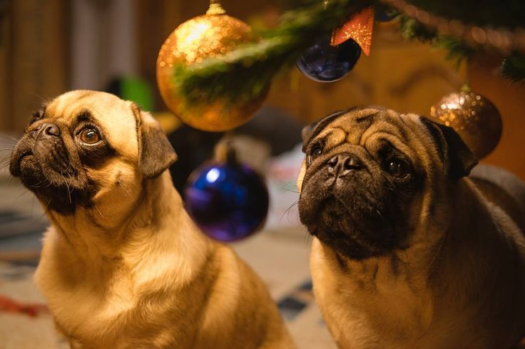 We can't stop staring at our Christmas Tree  It's so beautiful  #mauricethepug #bubble #iulianmarcu #christmas #christmastree #beautiful #excited #amazed #december #romania #tirgumures #santa #winter #holidays #winterholidays #puglife #pugchat #pugstory #pug #mops #dog #puppy