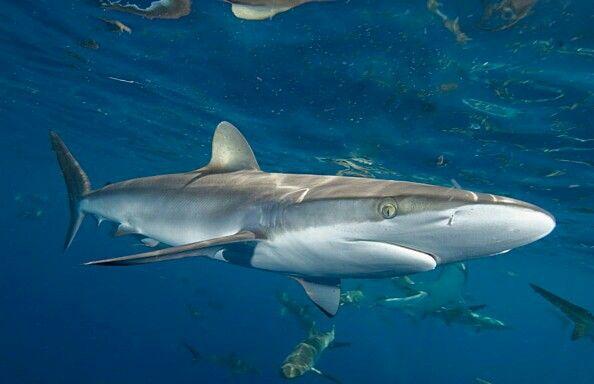 Silky shark        Carcharhinus Falciformis                   Syhaai