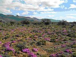 Karroo landscape with flower carpet &