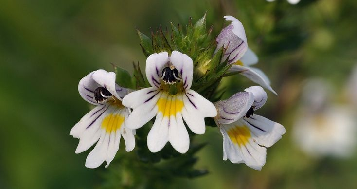 <p>Common Names: Eyebright; euphrasia. Vials of Euphrasia officinalis (Euphr.) 30C pills are currently on special for AU$5.00 – but only until midnight, Monday, 17th April, 2017 (UTC/GMT -8 hours). General